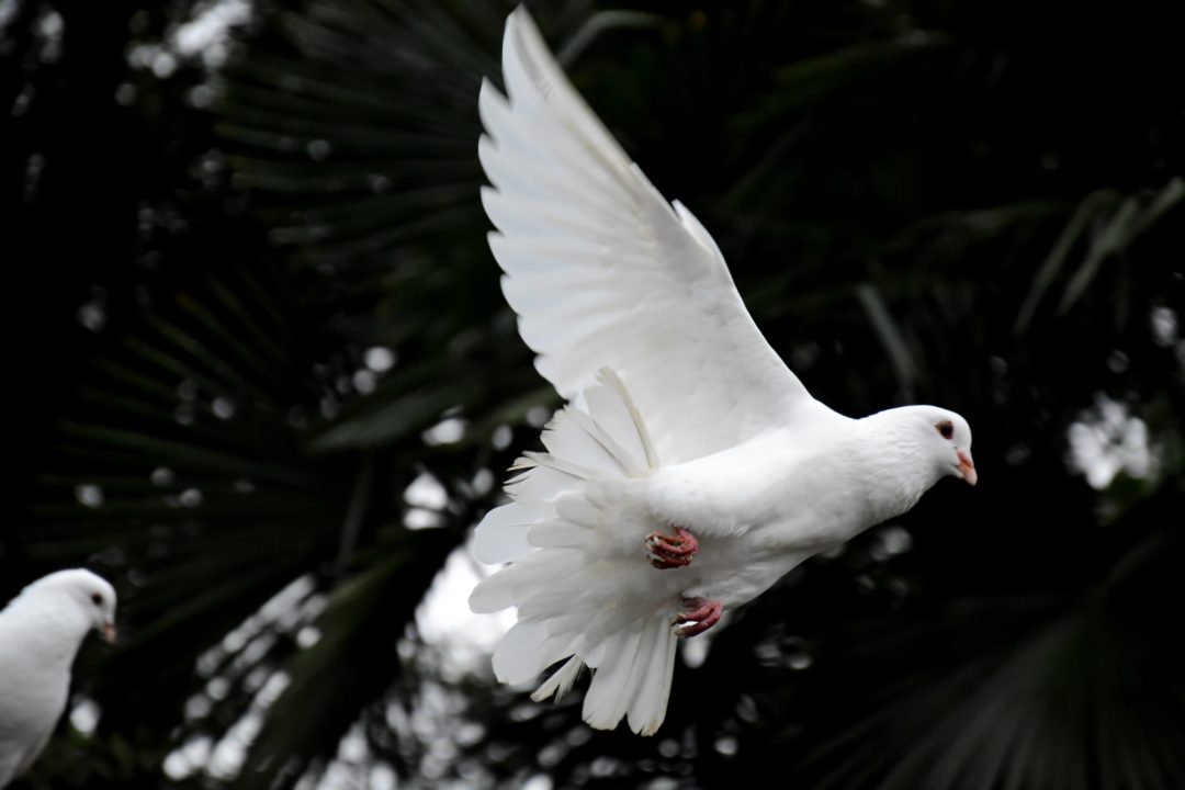dove symbolizing peace calm after fight